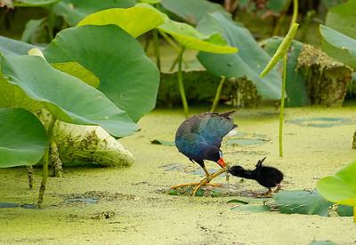 Purple Galinule Hen Feeding Chick