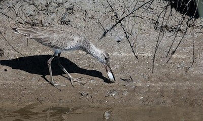 Willet with a Fiddler Crab