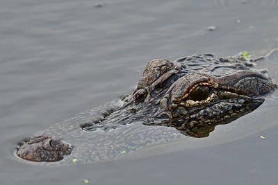05102017_Anahuac_NWR_Alligator_500_9691