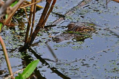 05102017_Anahuac_NWR_Alligator_500_9695