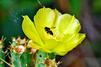 05102017_Anahuac_NWR_Cactus_Flower_500_9709