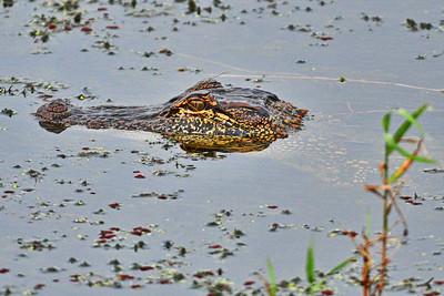 05102017_Anahuac_NWR_Alligator_500_9692
