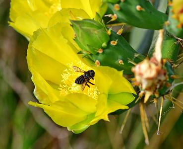 05102017_Anahuac_NWR_Cactus_Flower_500_9712