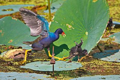 20180725_Anahuac_NWR__Shovelers_Pond_Purple-Galinule_Chasing_Chick_500_8839