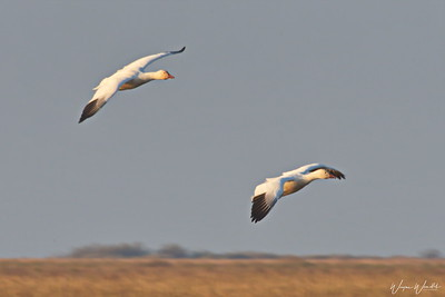 Snow Geese Looking for a Spot to Land