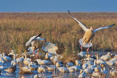 Snow Geese Landing In the Flock