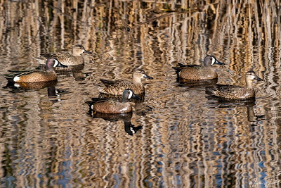 6 Blue-winged Teal