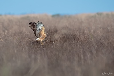 Northern Harrier............landing on a Bush