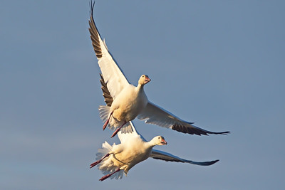 Snow Geese Taking Off
