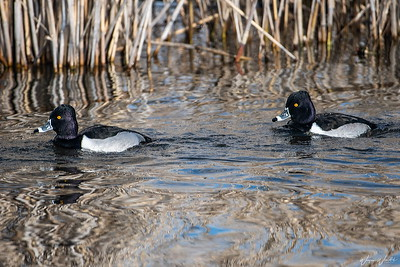 Ring-necked Ducks (Drakes)