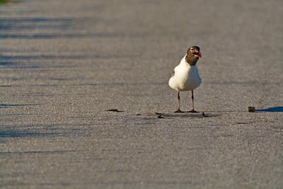 Anahuach_NWR_Laughing-gull_Eating_Crawfish_D71_4988