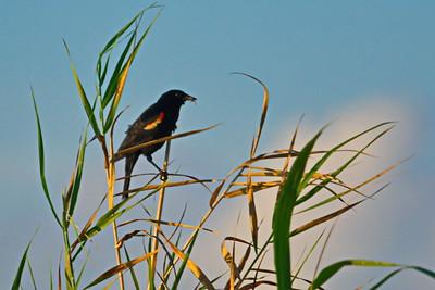 Anahuac_NWR_Red-winged_Blackbird_D71_4930
