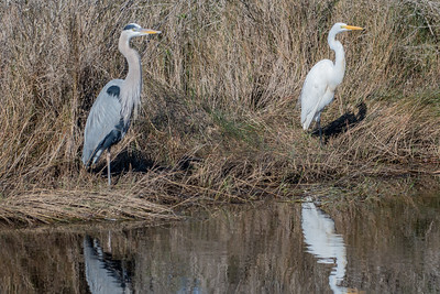 Great Blue Heron & Great Egret