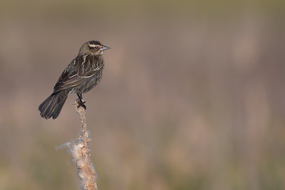 Red-winged Blackbird Perched along Frozen Point Road