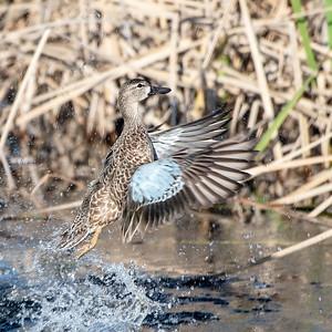 Blue-winged Teal Hen Taking Flight