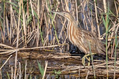 American Bittern Hunting Shoveler Pond
