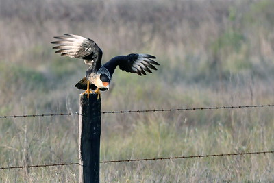 Crested Caracara Taking Flight