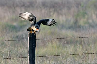 Crested Caracara Taking Flight