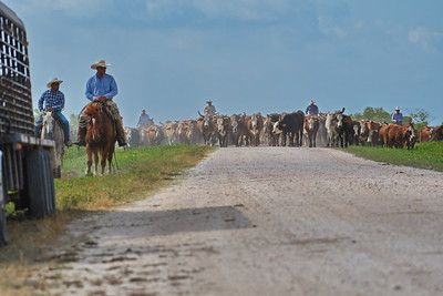 Cattle Drive on the Road to Frozen Point