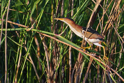 Least Bittern Along Shoveler Pond Auto Loop