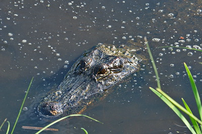 Mother Alligator of the Little Gators