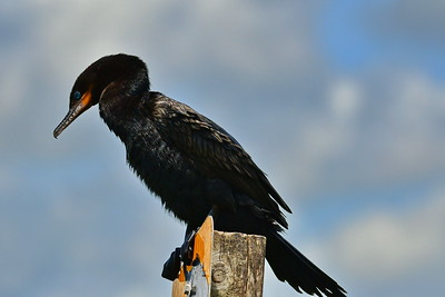 04152017_AnahuacNWR_Neotropic_Cormorant_Perched_Sign_500_8942