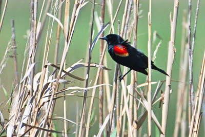 04152017_AnahuacNWR_Red-winged_Blackbird_500_8948