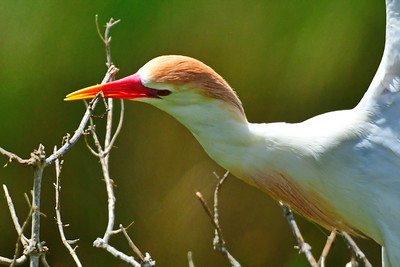 04152017_AnahuacNWR_Cattle_egret_Breeding_nest-building_500_8870