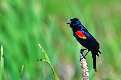 04152017_AnahuacNWR_Red-winged_Blackbird_Singing_500_8853