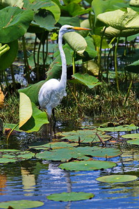 04152017_AnahuacNWR_Great_egret_posing_Lily-pond_500_8946