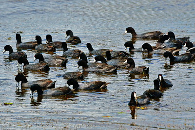 04152017_AnahuacNWR_American_Coots_bunch_500_8962