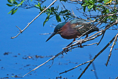 04152017_AnahuacNWR_Green_heron_perched_500_8863