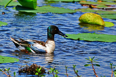 04152017_AnahuacNWR_Northern_Shoveler_male_500_8932
