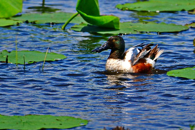 04152017_AnahuacNWR_Northern_shoveler_Blue-water_500_8925