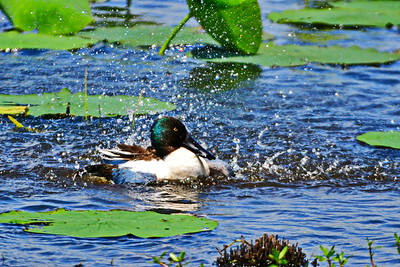 04152017_AnahuacNWR_Northern_shoveler_Bath_500_8930