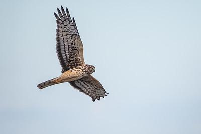 Northern Harrier Over Shoveler's Pond
