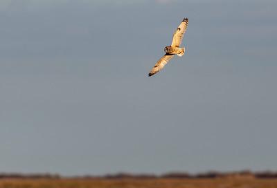 Short-eared Owl Over Frozen Point