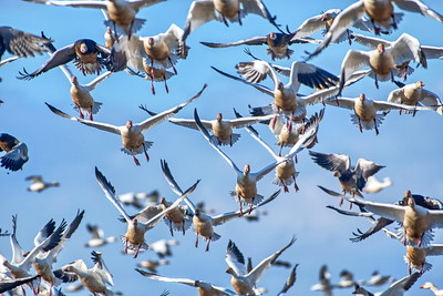 20190128_AnahuacNWR_Snow_Geese_Coming_at_You_500_3401