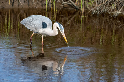 Great Blue Heron with Minnow