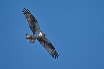 Osprey Looking for Fish