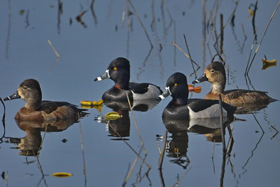 Lesser Ringed Necked Ducks