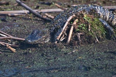 Camouflaged Gator