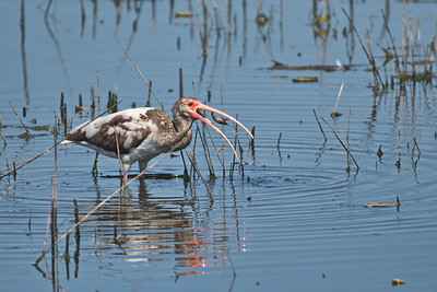 White Ibis_(Juvenile) Eating Crawfish