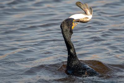 Cormorant Catches a Fish