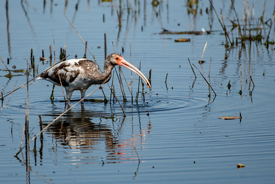White Ibis with Crawfish