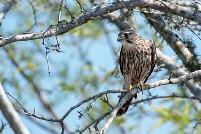 Merlin on the Merlin Tree