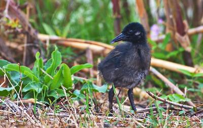 Clapper Rail chick