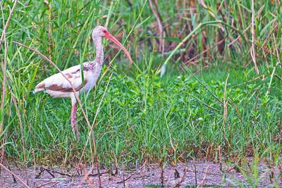 White Ibis (Juv)