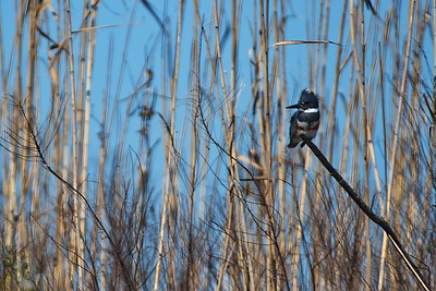 021617_AnahuacNWR_Belted_Kingfisher_500_4648