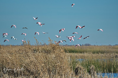 01252018_AnahuacNWR_Rosette_spoonbills_flock_Flying_500_4098
